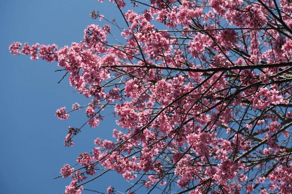 苗寨里唯一一棵开放的樱花树