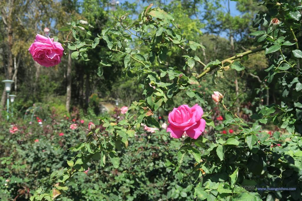 普屏植物园里的玫瑰花