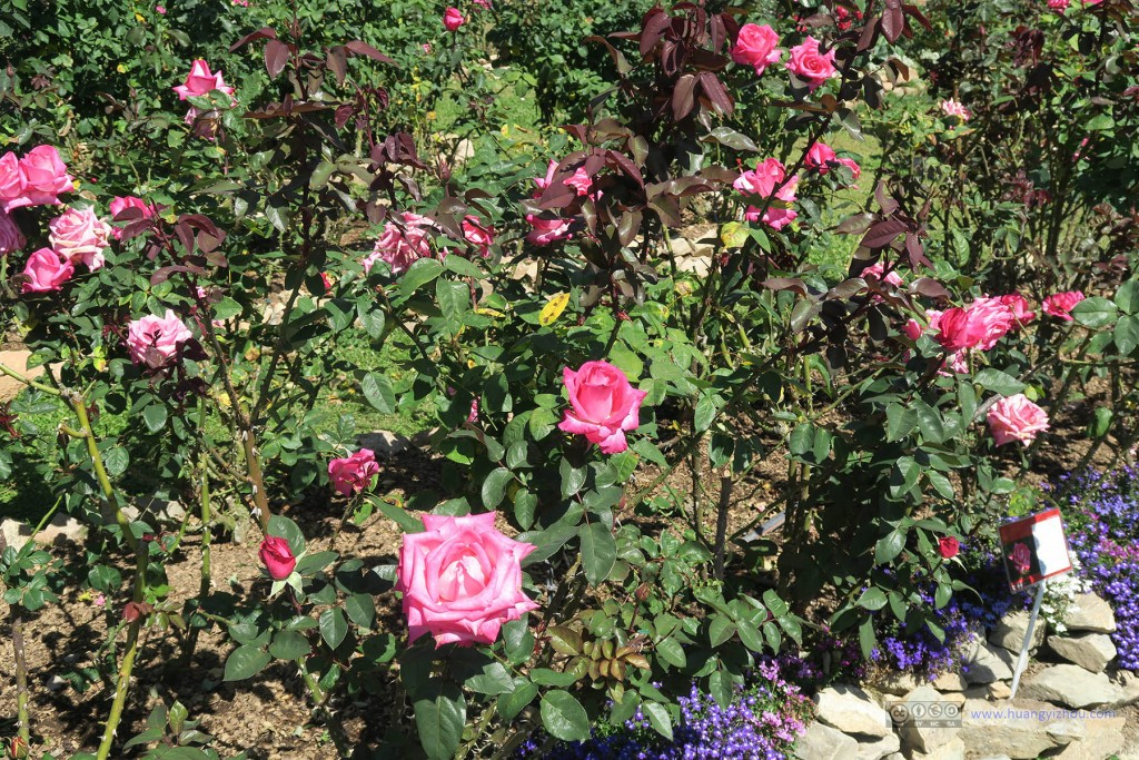 普屏植物园里的众多玫瑰花