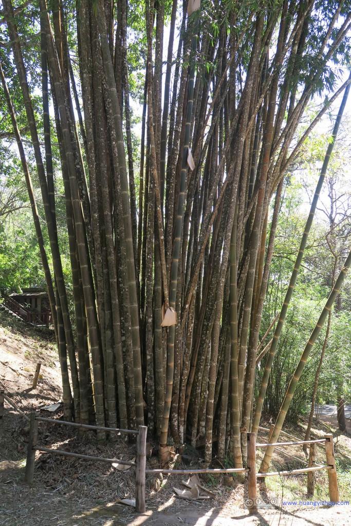 这一群竹子大得不可思议