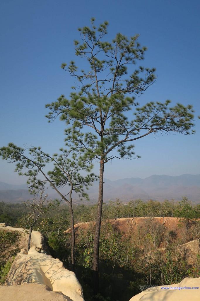 Pai Canyon,这棵松树长得位置有点奇特