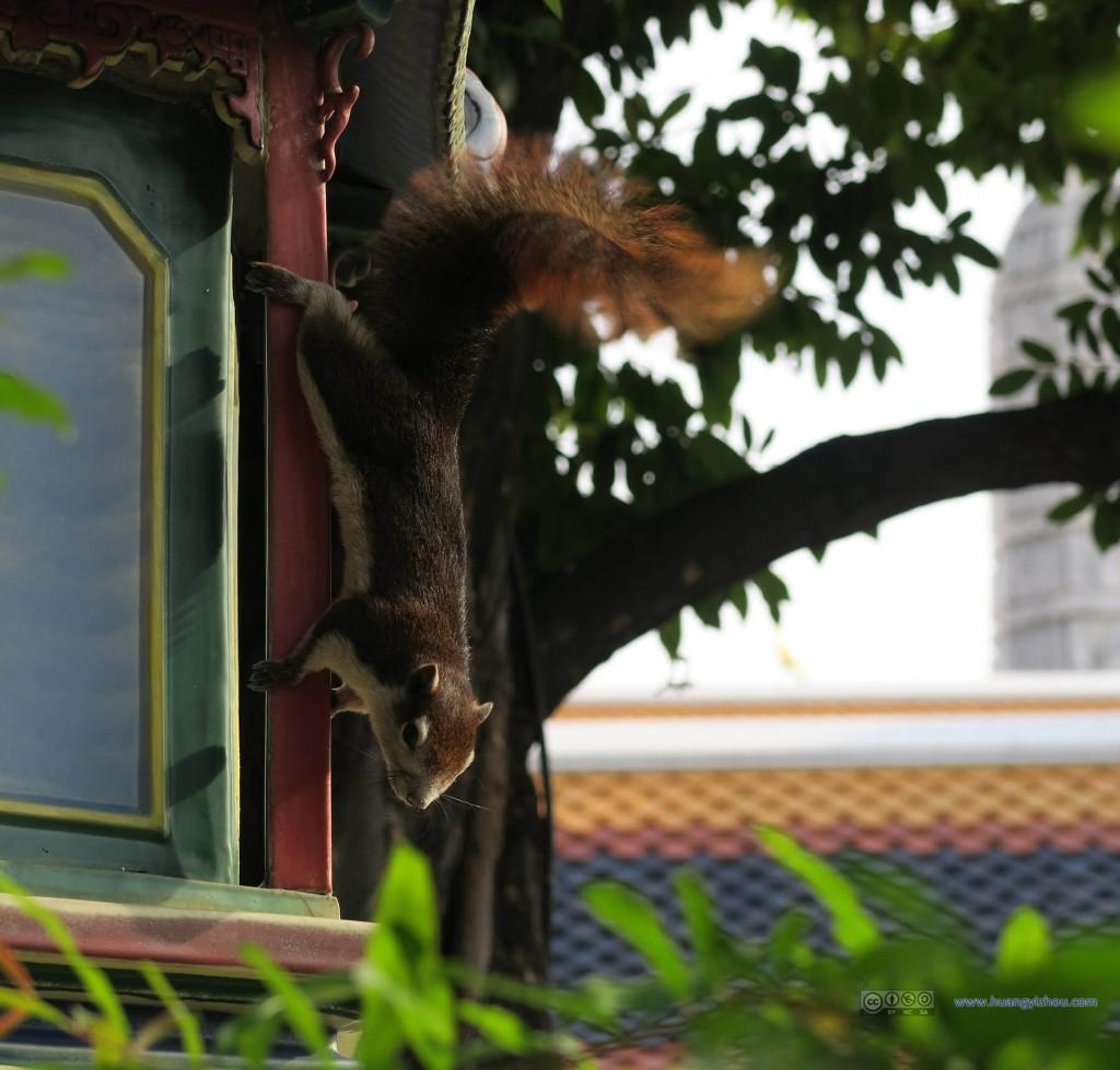 在卧佛寺内看到了一只很可爱的松鼠