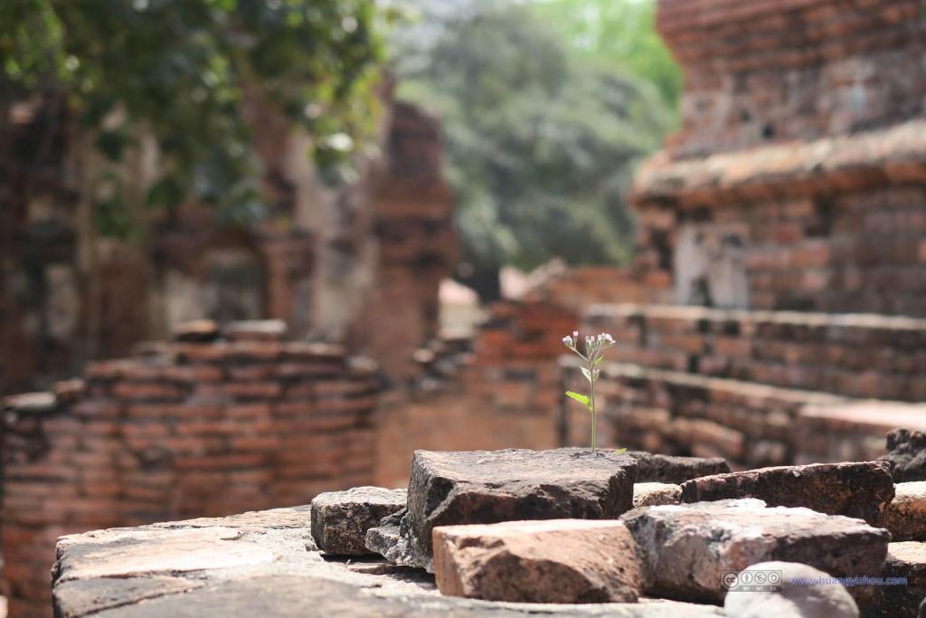 在Wat Maha That里发现了这朵从岩石中生长出来的花