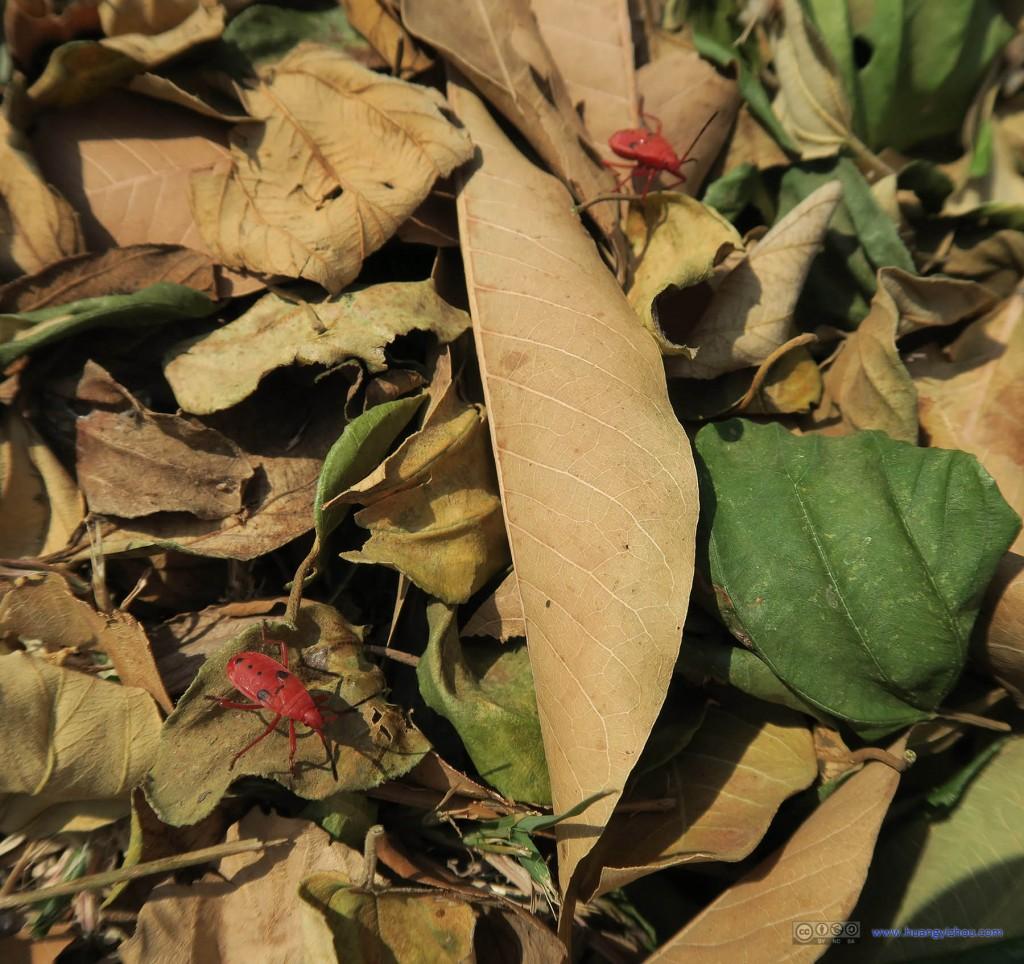 在Wat Phra Ram看到这种很奇特的虫子