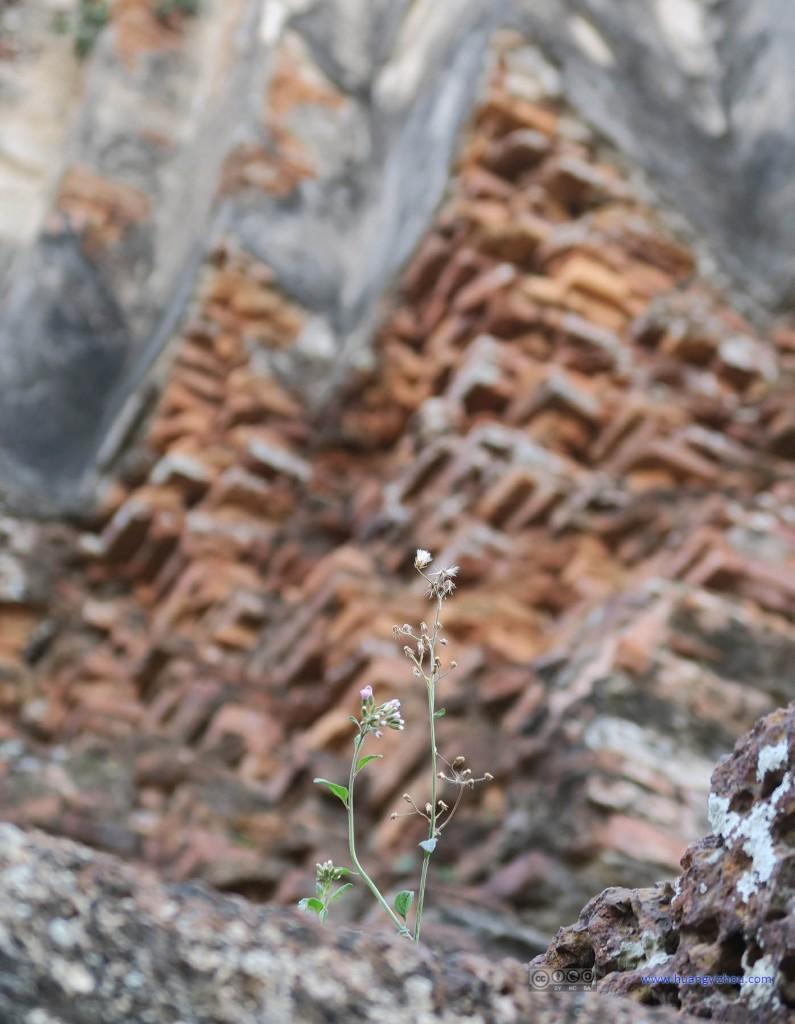 在Wat Phra Ram里也看到了这种从岩石缝里长出来的花。而且这是在离地10米的塔上面,觉得非常惊异