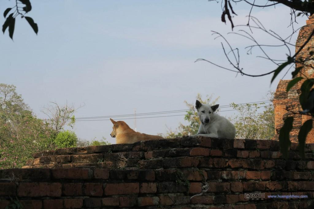 在Wat Phra Si Sanphet围墙上晒太阳的两只狗