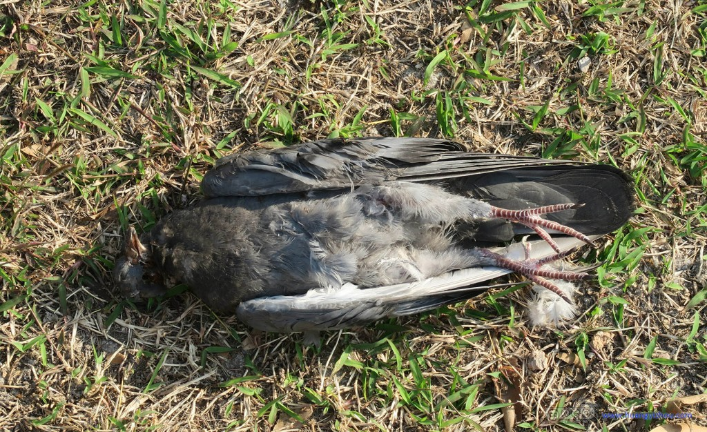 Wat Phra Si Sanphet入口附近有不少这样死掉的鸟,不知道为什么